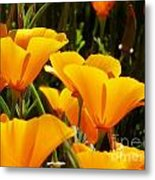 Golden Poppies Metal Print