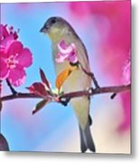 Goldfinch Behind Pink Blossoms 031015aaa Metal Print