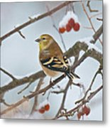 Goldfinch In Snow Metal Print