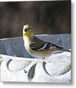 Goldfinch On Bird Bath Metal Print