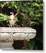 Goldfinch On Birdbath Metal Print