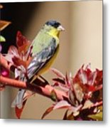 Goldfinch On Branch 031015aa Metal Print