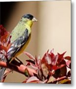 Goldfinch On Branch 031015aab Metal Print