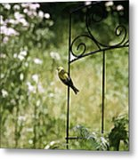 Goldfinch On The Lookout -19 Metal Print