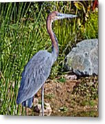 Goliath Heron By Water Metal Print