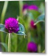 Gomphrena Flowers Metal Print