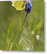 Gonepteryx Rhamni On The Blue Flower Metal Print