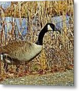 Goose On The Edge Metal Print
