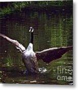 Goose Shaking Its Wings. Metal Print