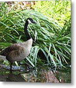 Goose Walking Back In For A Swim Metal Print
