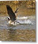 Goose Water Landing Metal Print