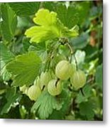 Gooseberries Metal Print