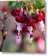 Gooseberry Flowers Metal Print