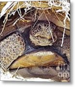 Gopher Tortoise Metal Print