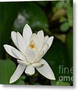 Gorgeous White Lotus Flower Blossom Metal Print