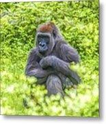 Gorilla Resting Metal Print