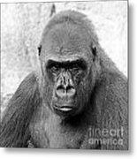 Gorilla White Background Metal Print