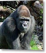 Gorilla135 Metal Print