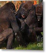Gorillas Having Fun Together  Metal Print