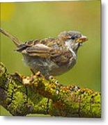 Gorrion House Sparrow Metal Print