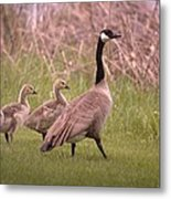 Goslings On A Walk Metal Print