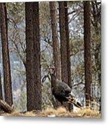 Gould's Wild Turkey IIi Metal Print