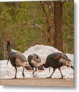Gould's Wild Turkey V Metal Print