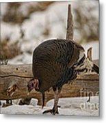 Gould's Wild Turkey Xi Metal Print