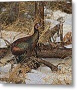 Gould's Wild Turkey Xiii Metal Print