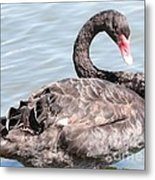Graceful Black Swan Metal Print
