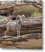 Grand Canyon Big Horn Sheep Metal Print