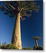 Grandidiers Baobab Trees Madagascar Metal Print