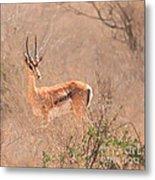Grant's Gazelle Nanger Granti Metal Print