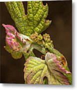 Grape Bud Break Metal Print