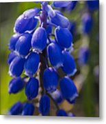 Grape Hyacinth Metal Print by Adam Romanowicz