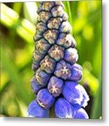 Grape Hyacinth Closeup Metal Print by Jane Rix