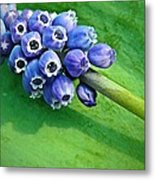 Grape Hyacinth Spike  Metal Print