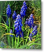 Grape Hyacinths 2014 Metal Print