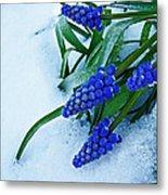 Grape Hyacinths In Snow Metal Print