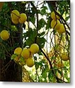 Grapefruits Metal Print