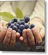 Grapes Harvest Metal Print by Mythja  Photography