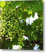 Grapes In A Vineyard Metal Print