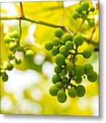 Grapes On The Vine - Finger Lakes Vineyard Metal Print