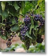 Grapes On Vine Metal Print