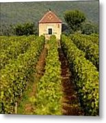 Grapevines. Premier Cru Vineyard Between Pernand Vergelesses And Savigny Les Beaune. Burgundy. Franc Metal Print by Bernard Jaubert