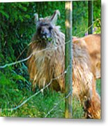 Grass Is Always Greener - Llama Metal Print by Jordan Blackstone