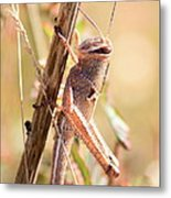 Grasshopper In The Marsh Metal Print