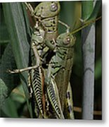 Grasshoppers In Love Metal Print