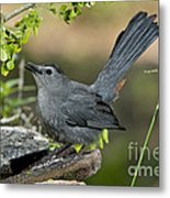 Gray Catbird Drinking Metal Print