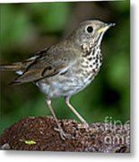 Gray-cheeked Thrush Catharus Minimus Metal Print
